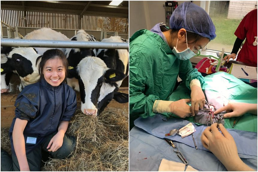 Dr Lee Yan Hui had learnt to conduct physical examinations for cows (left) and to spay a cat during her undergraduate years in Britain.