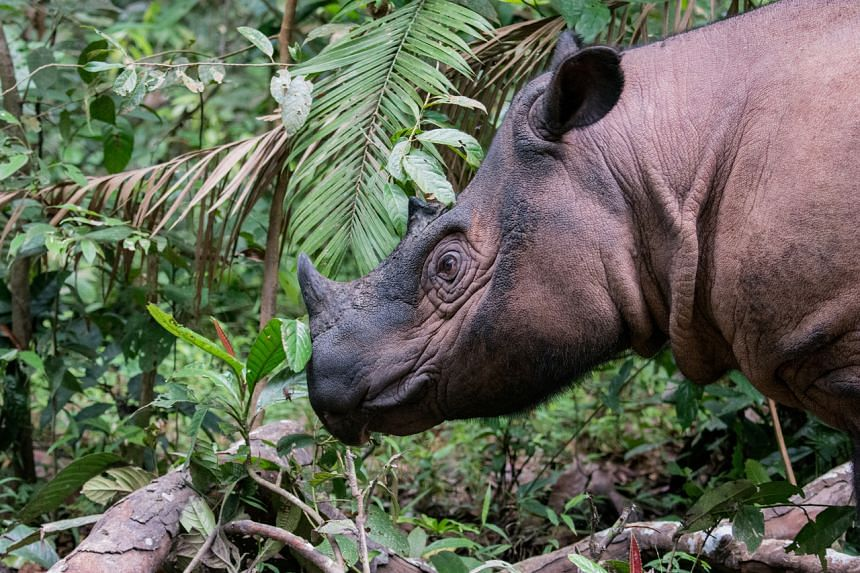 Fewer than 80 Sumatran rhinos are left in the world.