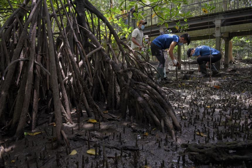 Mangroves are often considered a nature-based solution to counter coastal flooding.