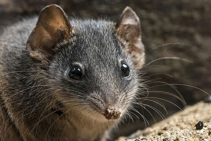 The male silver-headed antechinus dies before it is one year old from the effects of an intense two-week mating season. Females rarely survive to a third breeding season. PHOTO: AGENCE FRANCE-PRESSE