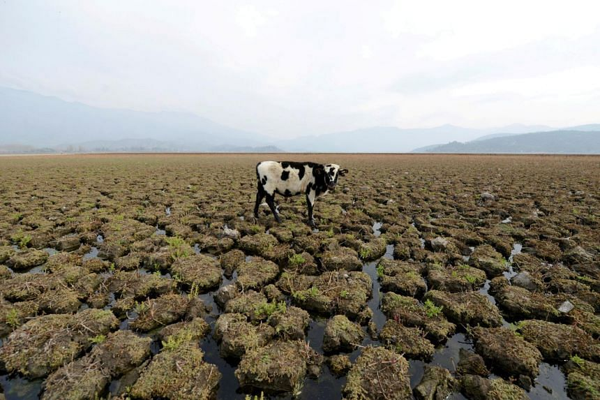 A cow is seen on land that used to be filled with water, at the Aculeo Lagoon in Paine, Chile, on May 14, 2018.