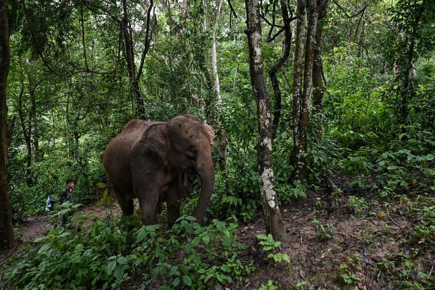In this photo taken on July 20, 2021, a conservation worker walks behind an elephant in Xishuangbanna, Yunnan.