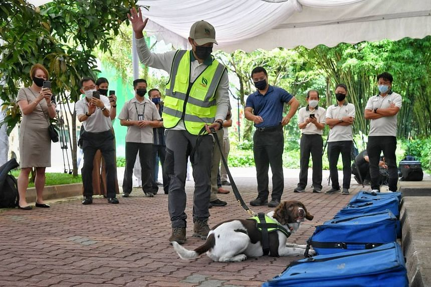 A dog handler from the NParks K9 Unit raises his hand after his dog identified a bag that contains illegal wildlife parts at the Centre for Wildlife Forensics, on Aug 27, 2021.