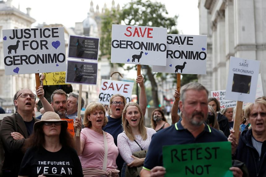 Protesters demonstrate against the ruling that Geronimo, an Alpaca believed to be carrying TB, has to be euthanised, in London on Aug 9, 2021.