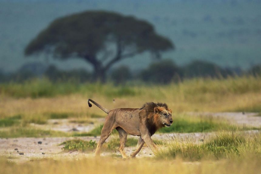 """Lions and cheetahs were both reconfirmed as """"vulnerable"""" in 2014."""
