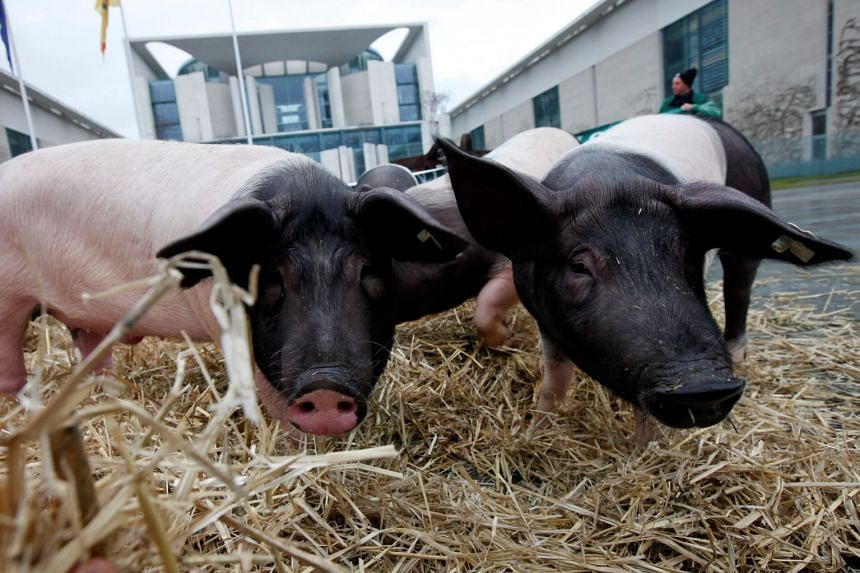 Critics are worried that lax application of EU standards in some member states could open the door to possible cannibalism, where pig remains, for example, find their way into pig feed.
