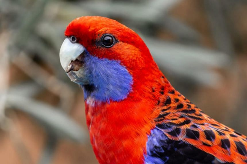 The Australian parrot had shown an average 4-10 per cent increase in the size of its bill since 1871.