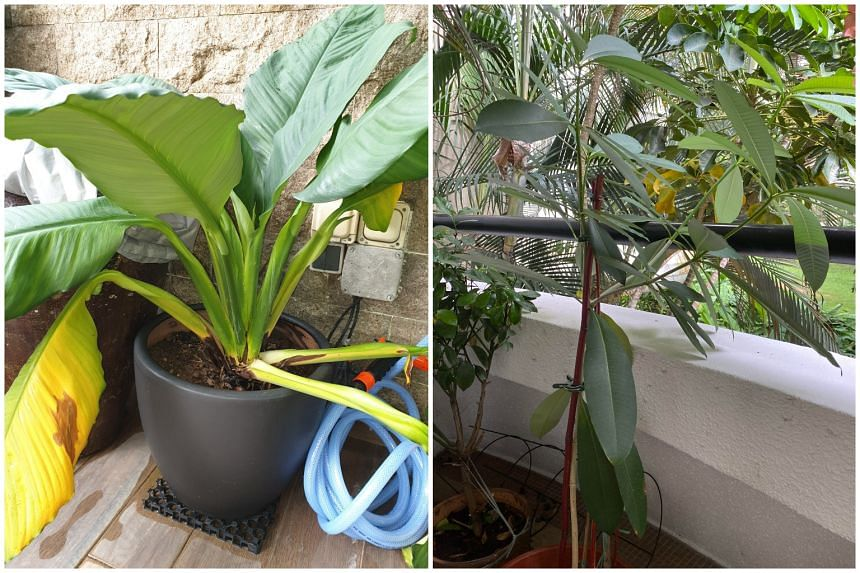 The Peace Lily (left) and Alstonia (right).