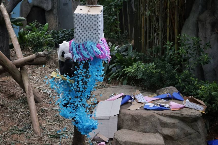 Giant panda Kai Kai, who is the cub's father, celebrating his 14th birthday at the River Safari on Sept 10, 2021.