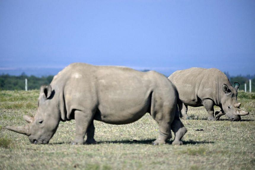 In a photo from Aug 23, 2019, white rhinos graze in their secured paddock in Nanyuki, Kenya.