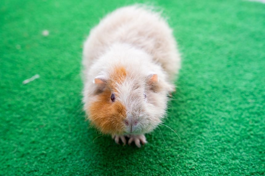 """Hamsters, rabbits and guinea pigs are generally known as """"pocket pets"""" because of their small size."""