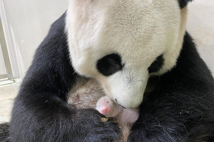 DAY 6, AUG 19:As Jia Jia adjusts to motherhood leading up to the little one's first week of life, rest periods for mother and baby last longer than before. The cub continues to be very vocal when it is hungry and that prompts Jia Jia to sit up to che