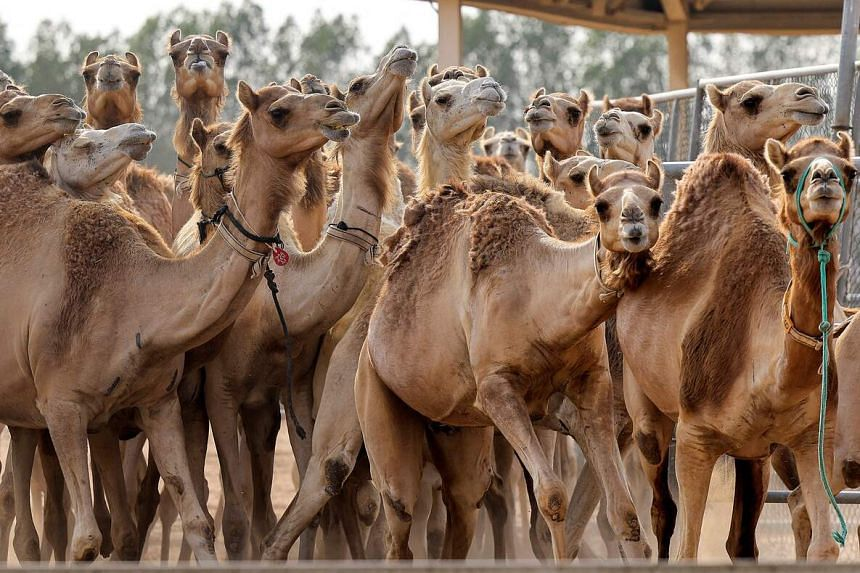 Cloned camel calves in a pen at the Reproductive Biotechnology Centre in Dubai on June 4, 2021.