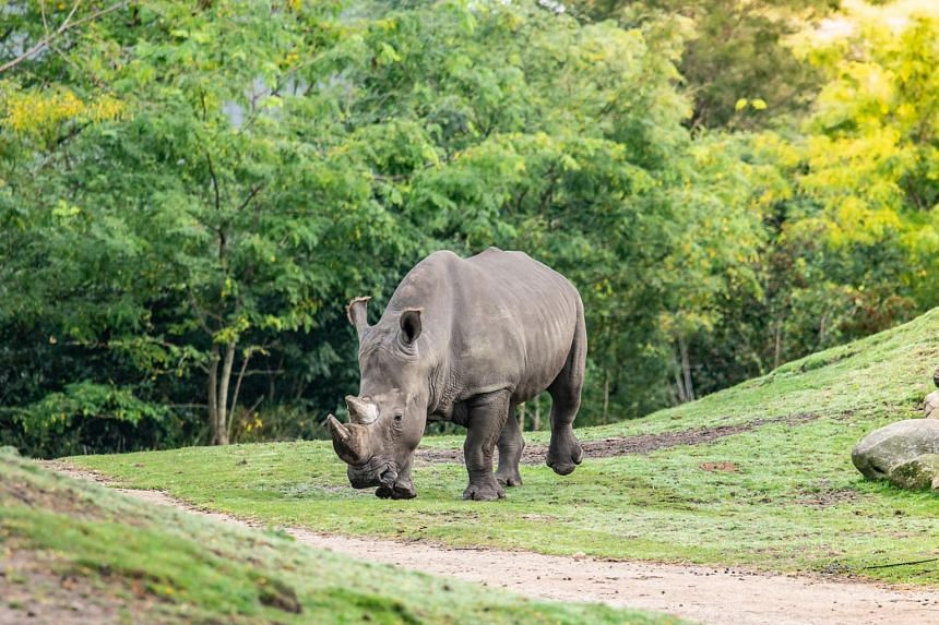 The female rhino was startled and slipped into a waterhole after male rhino Limpopo (pictured) arrived.