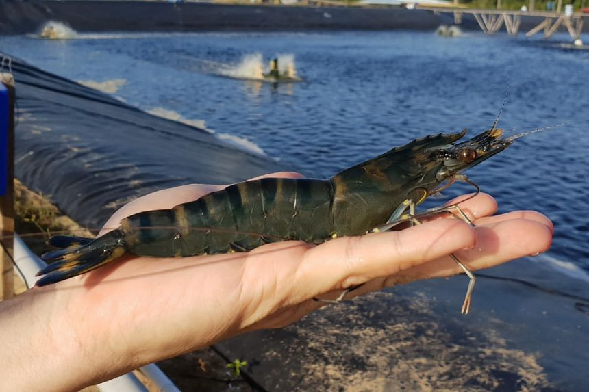 Genetic technology is used to rear jumbo-sized Tiger shrimp that fit the length of a hand in just more than 90 days.