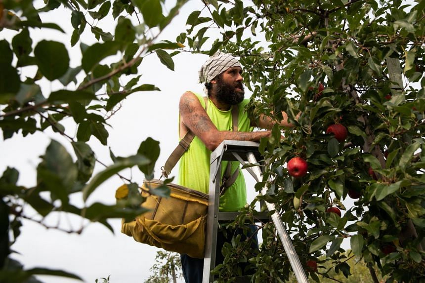 A worker harvesting Gala apples at an orchard in Britton, Michigan. Food prices in August were up 33 per cent from the same month last year.