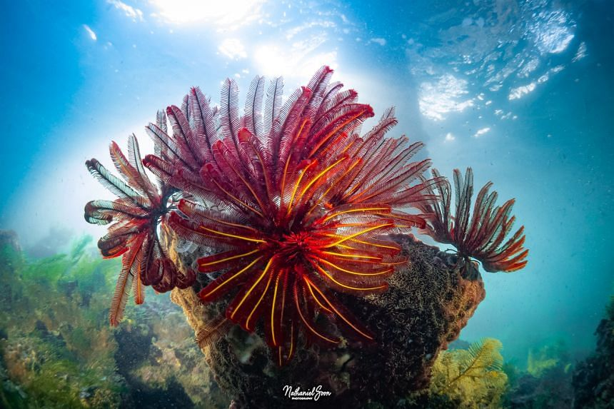 Red feather stars extending their oral arms to feed.