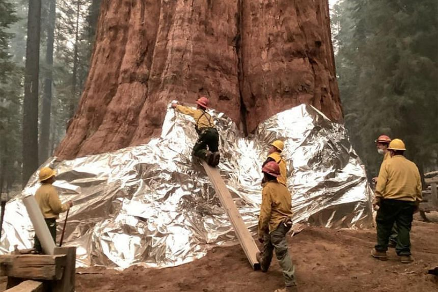Wildland firefighters apply structure wrap to giant sequoias on the KNP Complex fire in the Sequoia National Park, California, on Sept 17, 2021.