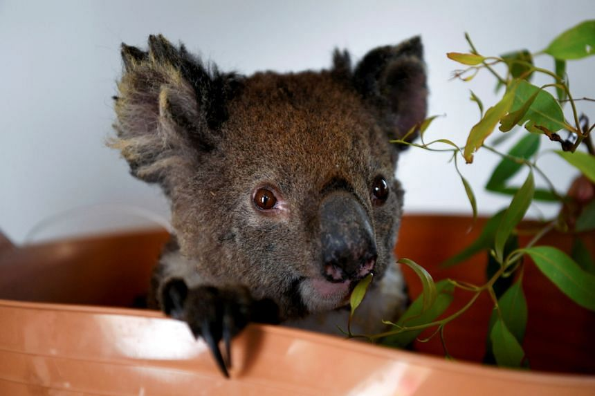 Drought, bush fires and the cutting down of trees by developers has led to the fall in koala populations.
