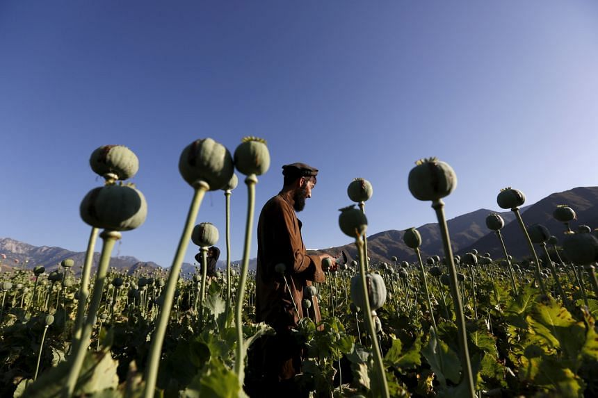 A man working on a poppy field in Nangarhar, Afghanistan, on April 20, 2016.