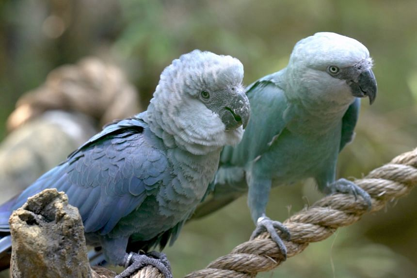 The birds had made their debut in Jurong Bird Park in 2017 under a 10-year loan.