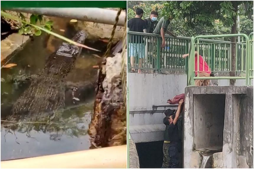 The 1.53m crocodile was spotted swimming in a canal near Fort Road.