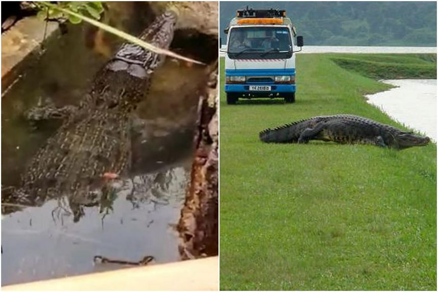 A crocodile spotted in a canal near Fort Road on Oct 5, 2021 (left). Another crocodile, which weighed 400kg in 2014, was believed to be one of the largest wild specimens here.