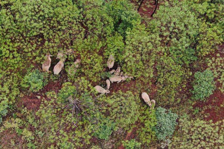 A migrating herd of wild Asian elephants in southwest China's Yunnan province on July 2, 2021.