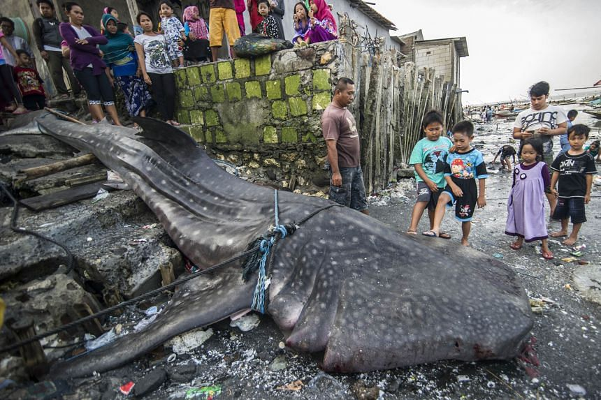 Locals gathering around the carcass of a dead whale shark, which was caught by fishermen in the sea off Surabaya, on the eastern part of Indonesia's Java Island, on Monday. The giant fish, measuring 7m long and weighing two tonnes, was originally pla