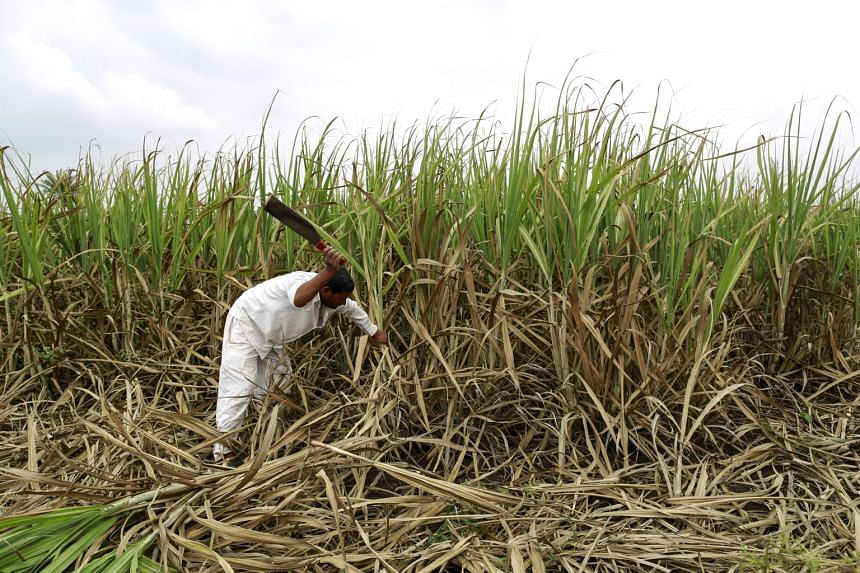 Farmer Vijay Nazirkar cutting damaged sugar cane to be used as fodder for his cattle at a village in Pune, India, in September. Across India, crops are suffering severe damage from a faltering monsoon - leading to reduced incomes and lowering gold de