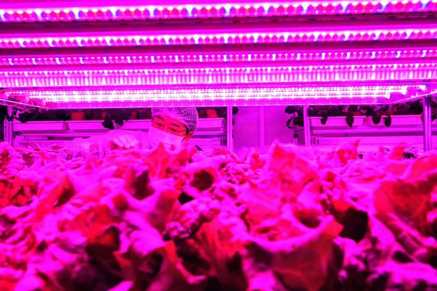 Panasonic started growing vegetables and herbs at its indoor farm in Tuas last year and production is expanding rapidly.
