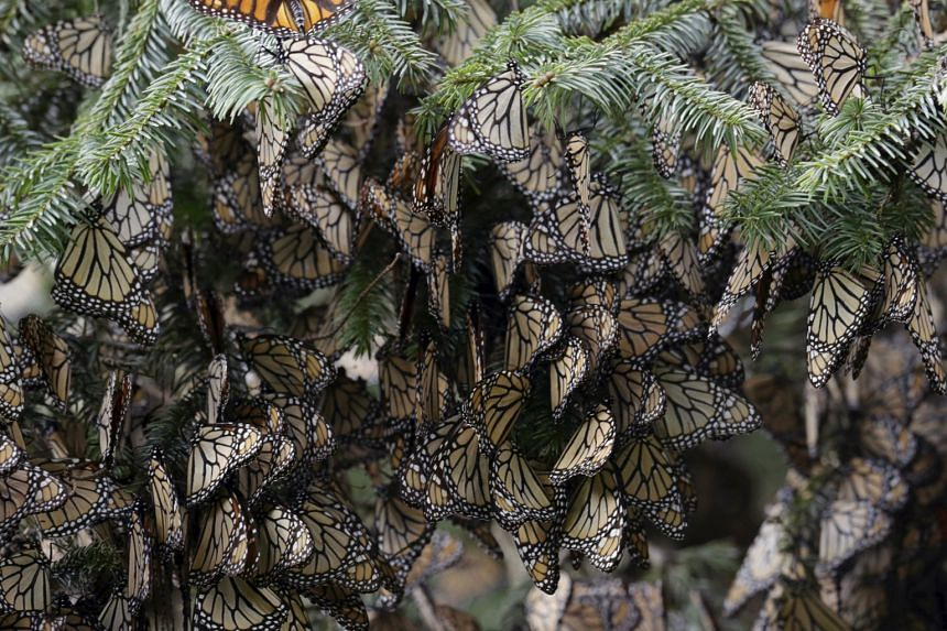 Hundreds of monarch butterflies resting on a pine tree in Angangueo, Mexico, last Saturday, as thousands of the striking orange-and-black insects began arriving at their winter home in their annual migration. The 4,800km mass migration of monarch but