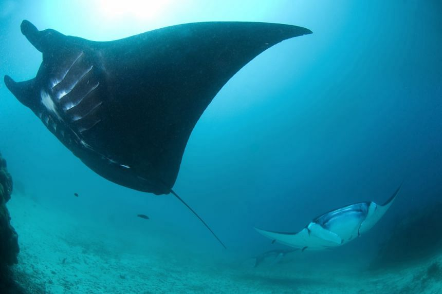 Giant pacific manta rays in the waters off Raja Ampat, Indonesia. A research team tagged 33 manta rays with GPS-enabled satellite in four regions of Indonesia, including Raja Ampat.