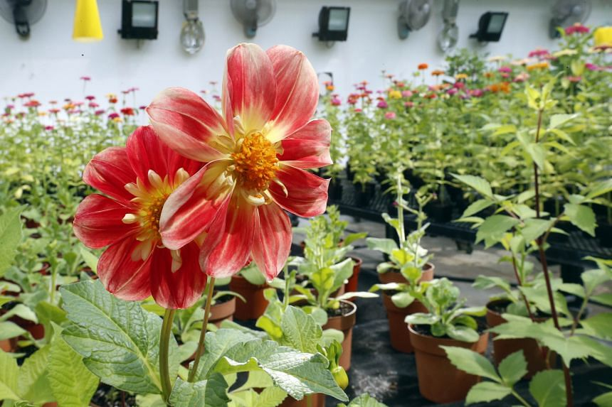 The Dahlia Pooh (above) and Dahlia Coralie are among the flowers on display.