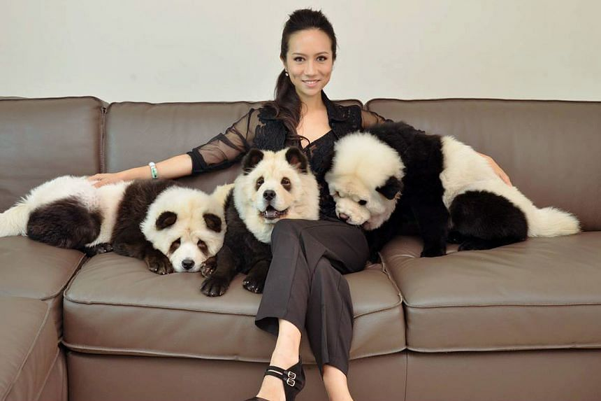 Ms Jiang said she used a safe and approved dye to paint black patches on her chow chows' white fur, adding that a patch test was done before it was applied, to ensure that her dogs were not allergic to it.