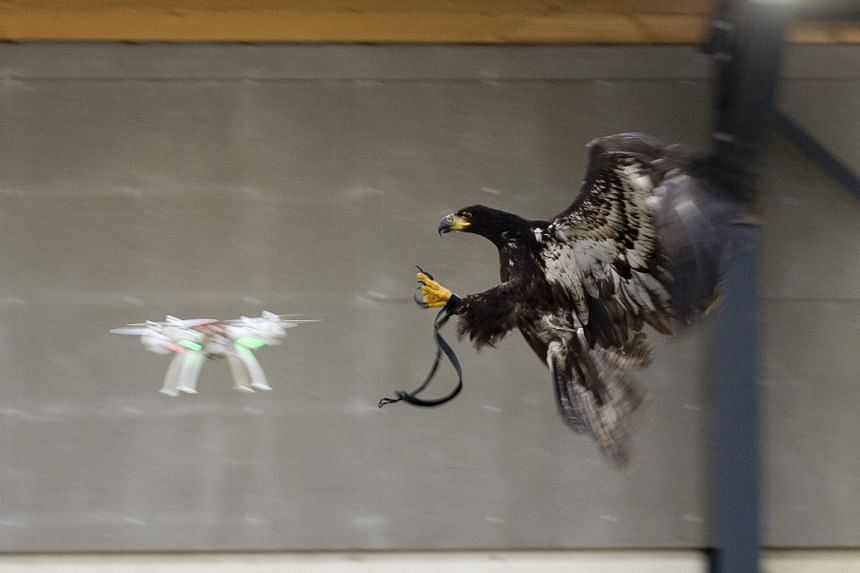 Sequence shots showing a trained eagle approaching a target drone (above), then grabbing it with its talons, before flying off with it. The idea of using birds of prey to capture drones arose following fears by police over unlicensed drones flying in
