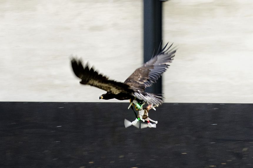 Sequence shots showing a trained eagle approaching a target drone, then grabbing it with its talons, before flying off with it (above). The idea of using birds of prey to capture drones arose following fears by police over unlicensed drones flying in