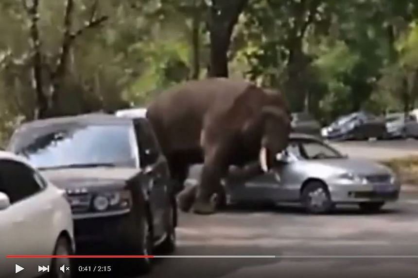 A screengrab of a video showing the elephant on a rampage. Zhusunya, a male Asian elephant which had lost a fight over a mate, wandered out of a national park and onto a road in Yunnan province. It damaged 14 cars last Friday, and another four over t