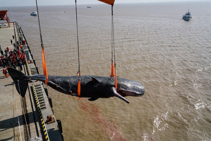 A dead sperm whale being hauled ashore at a port in Rudong county in China's eastern province of Jiangsu yesterday. The 16m-long, 25-tonne mammal was found beached in the area on Sunday by local fishermen. It was already dead. Another dead sperm whal