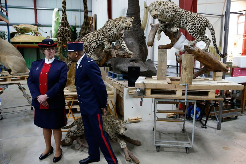 Customs officers standing in front of stuffed leopards in a taxidermy hall at Paris' natural history museum yesterday as part of a fight against the trafficking of protected species. French Customs, which seized seven stuffed animals last year, deliv