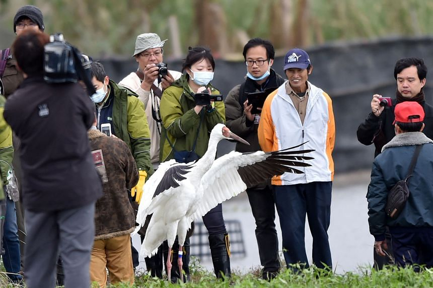 The Siberian crane being released in the Jinshan rice fields last year after getting lost in Taipei. The bird made the wetlands its home after making a wrong turn on its migratory journey in 2014.