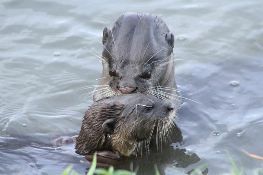 Pictures posted on Facebook by user Fast Snail last Saturday showed an otter pup in distress as others tried to remove a fishing line caught close to its right eye. The pictures are believed to have been taken at Kallang Basin. Members of the public