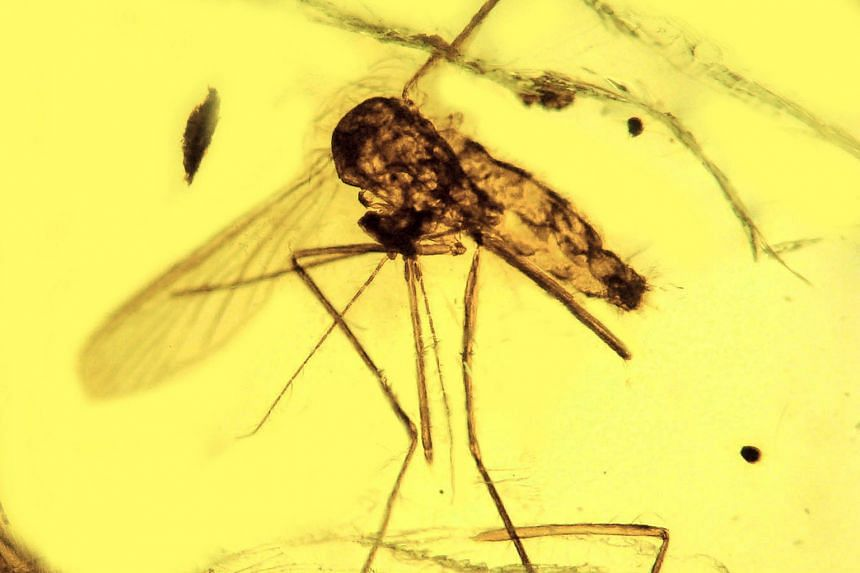 This mosquito Culex malariager, discovered in the Dominican Republic and preserved in amber, is infected with the malarial parasite Plasmodium dominicana. Ranging from 15 million to 20 million years old, it is the oldest known fossil showing Plasmodi