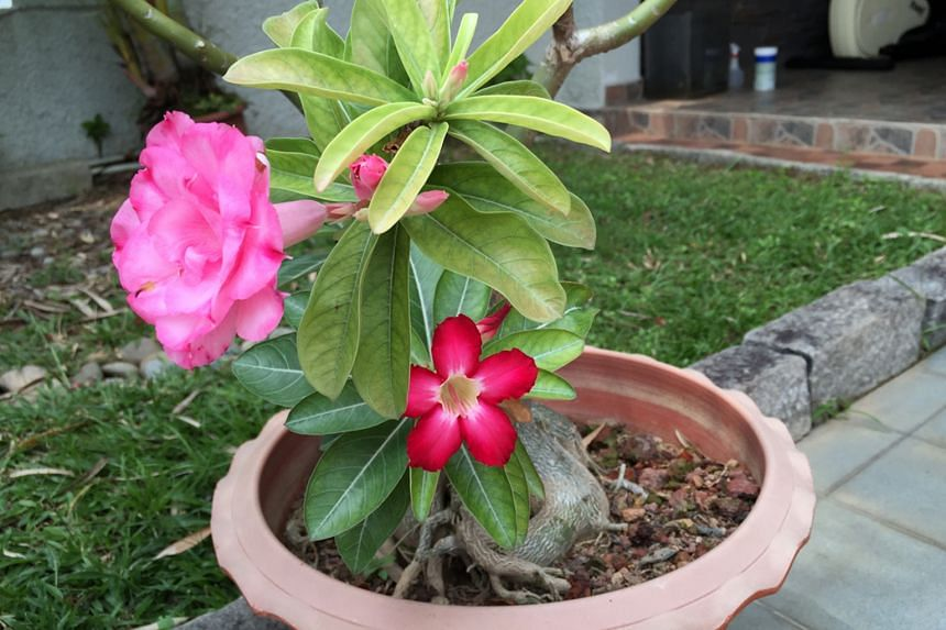 Branch from rootstock producing red blooms.