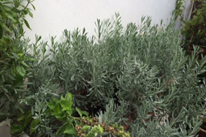 Lavender may thrive better in planter box.