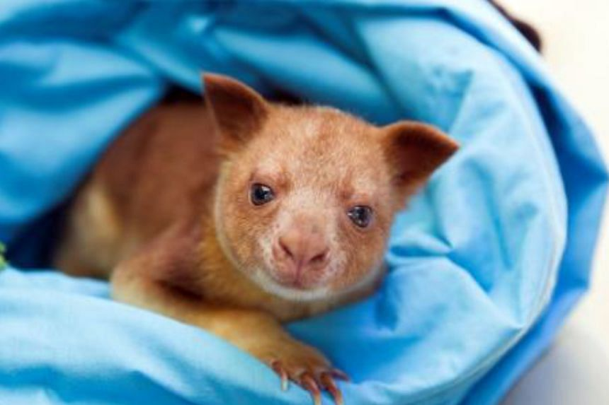 Makaia the kangaroo will be paired with another tree kangaroo when it arrives at the Singapore Zoo next week. The kangaroo first made headlines in 2014 when it was adopted by a wallaby after its mother died, the first time this had happened.