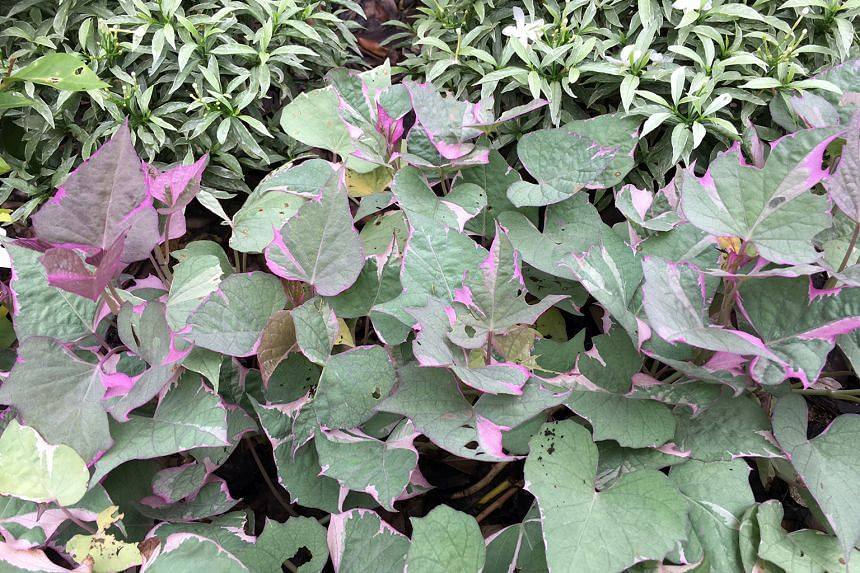Sweet potato vine with pretty leaves.