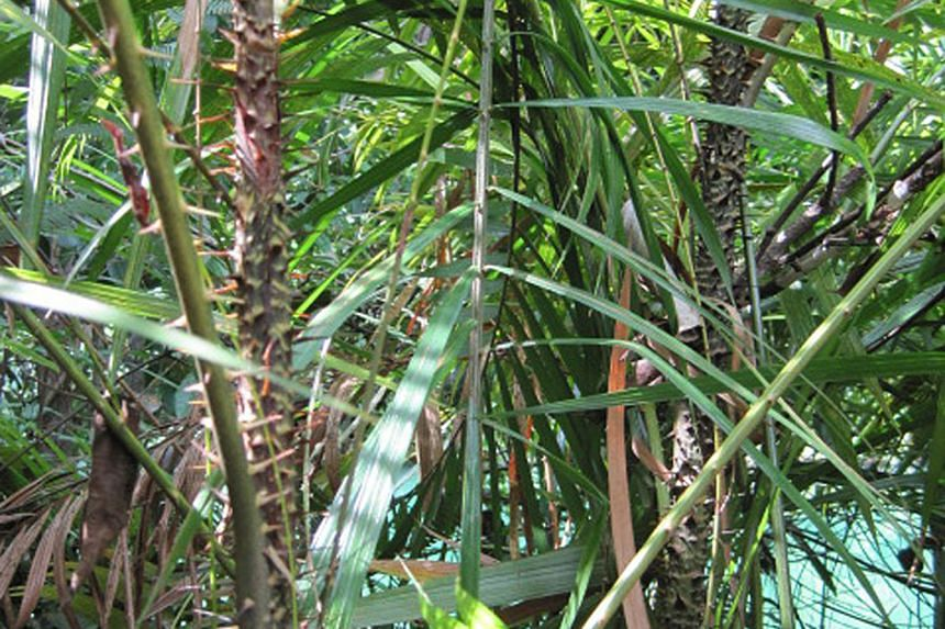 (Left) The pixie dragonfly is classified as endangered in Singapore as there are fewer than 250 mature individuals here. They can be found only in one pond in western Singapore. (Right, centre) A rare type of rattan plant known in Malay as rotan kera