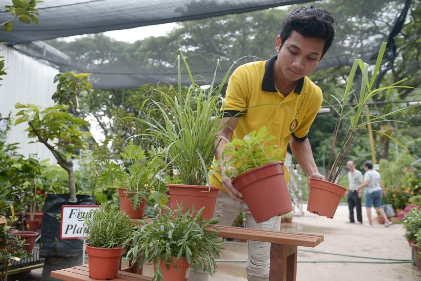Mosquito- repelling plants sold at nurseries include (clockwise from upper row far left) Pelargonium, lemongrass, peppermint, citronella, lavender and rosemary. A sign at Far East Flora lists Pelargonium graveolens, lemon balm, rosemary, citronella,