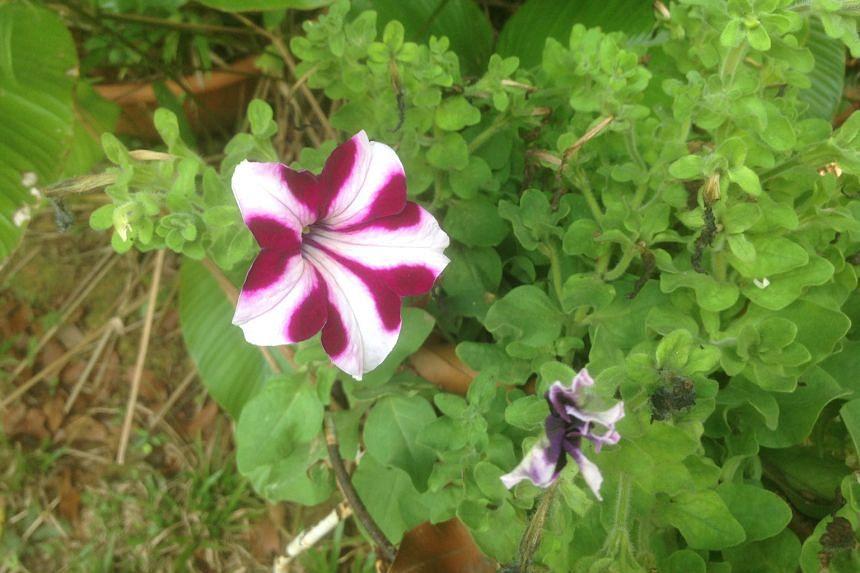 The petunia